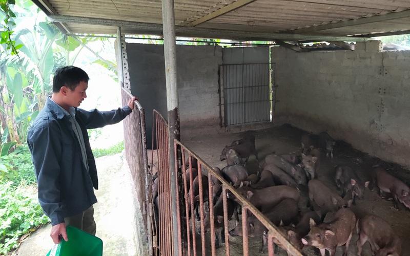 Hà Tĩnh: Nuôi lợn rừng, cho ăn cơm gạo lứt, chè khổng lồ, anh cán bộ xã thu tiền tỷ