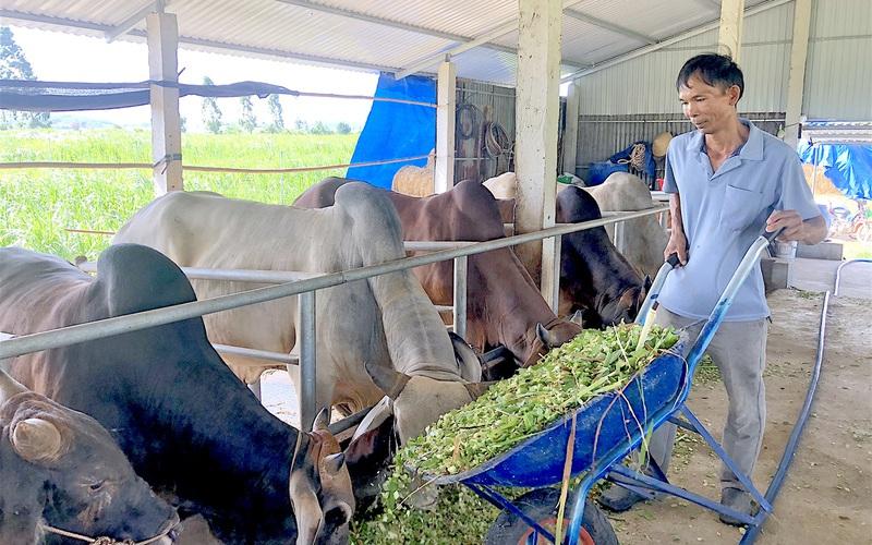 """Gia Lai: Một ông nông dân nuôi bò vỗ béo, có nhiều giống bò lạ """"vai u, thịt bắp"""", ai cũng muốn đến xem"""