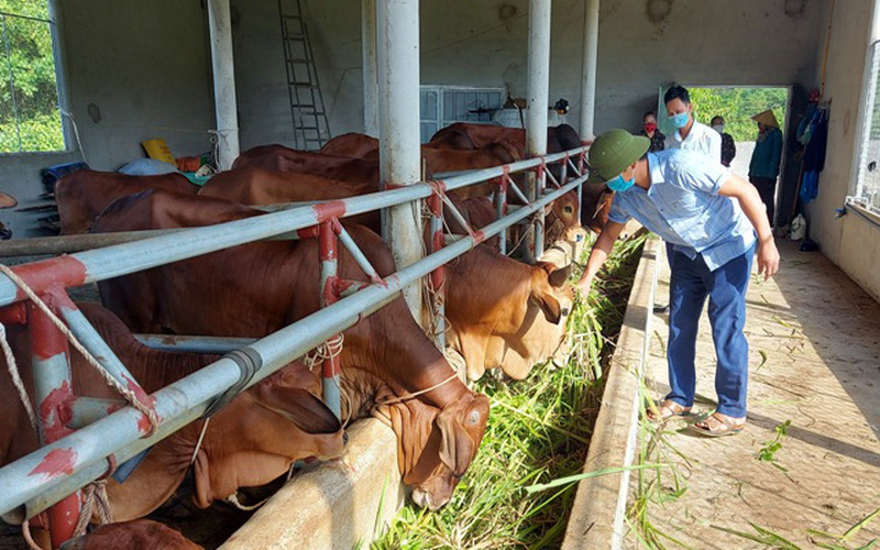 Hà Tĩnh: Chi hội trưởng 8X là triệu phú nông dân, có biệt tài nuôi bò vỗ béo giúp bà con thôn xóm làm giàu