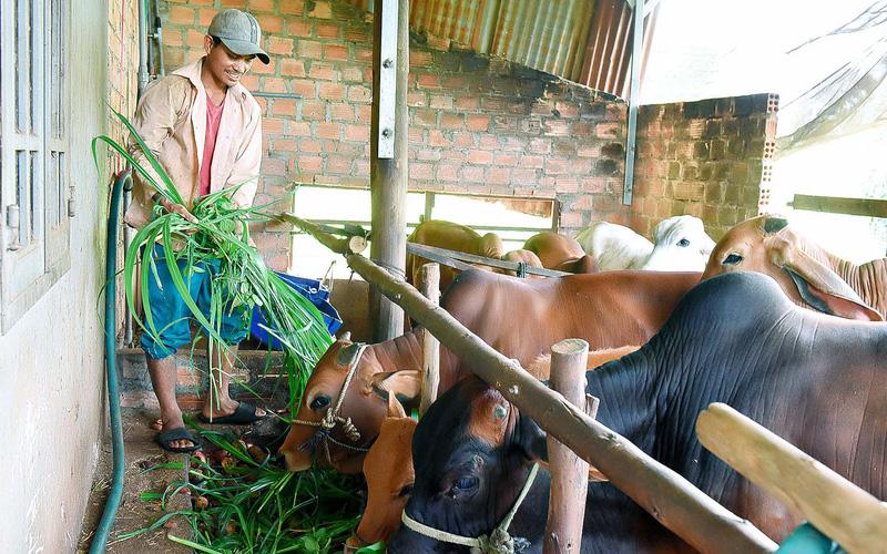 Giúp hội viên ở cao nguyên tạo lập đàn bò, vườn cây trái...
