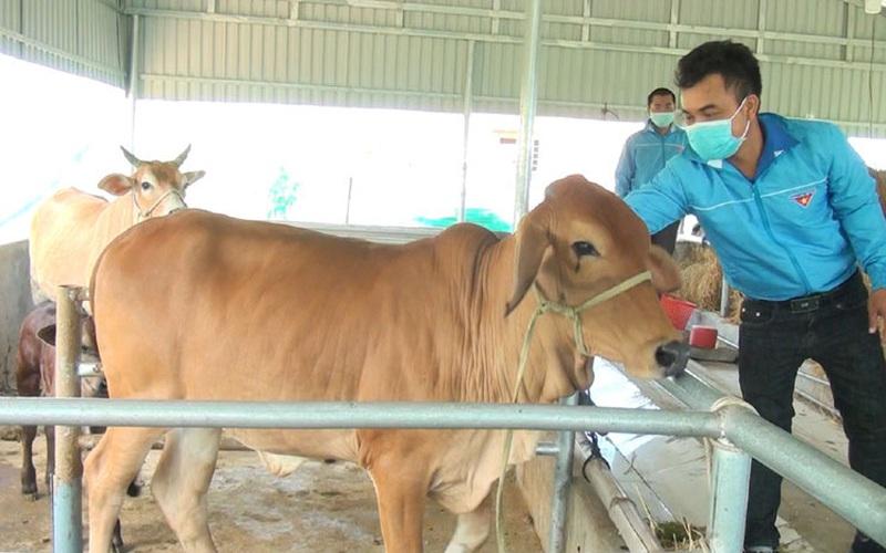 """Phú Yên: """"Liều"""" bỏ tiền nuôi bò 3B to bự theo cách này, từ hộ nghèo giờ nông dân 9X có thu nhập 100 triệu"""