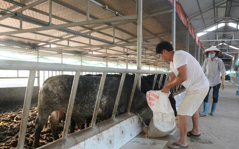 Nam Định: Nuôi thứ bò siêu to khổng lồ, bán 1 con lãi cả chục triệu đồng