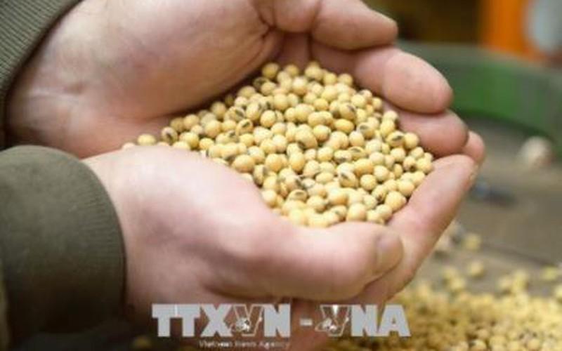 Nông dân Brazil trữ đậu tương chờ giá cao
