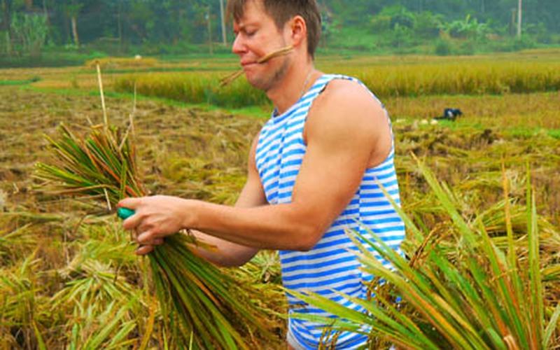 Những người Nga mê gặt lúa