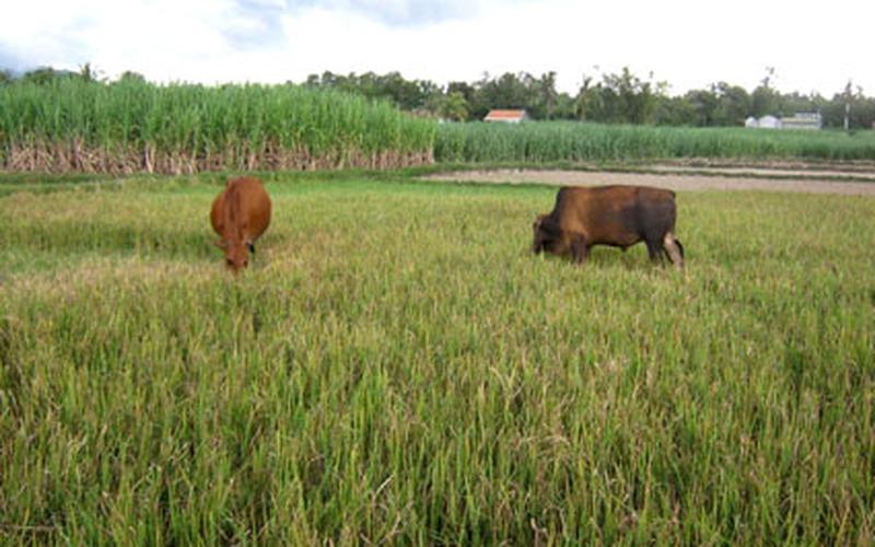Quảng Ngãi: Nhiều diện tích lúa dùng cho bò ăn