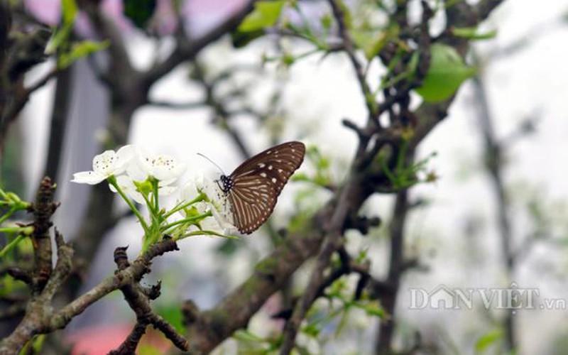 Ngỡ ngàng sắc hoa lê trên phố Hà thành