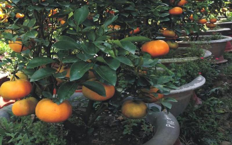 """Quýt hồng Lai Vung: Bán quả ủ ê, chê chán, bán cây chưng Tết lại """"cháy hàng"""""""