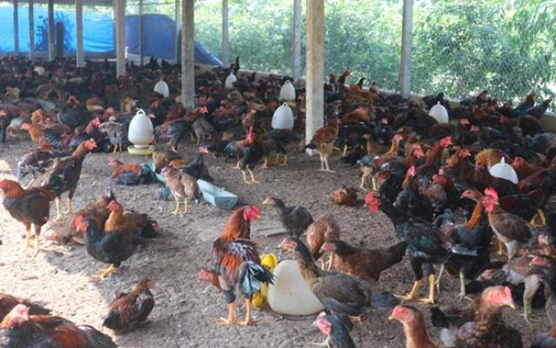 Nuôi 2.000 con gà an toàn sinh học: Không mùi hôi, sạch dịch bệnh