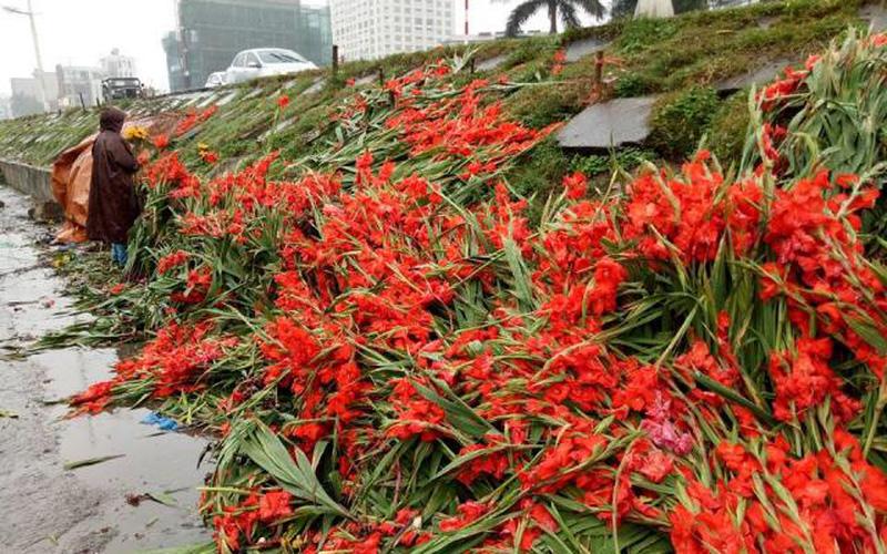 """""""Khóc"""" vì hoa lay ơn rẻ thê thảm, dân đổ bỏ """"đỏ"""" cả đường"""