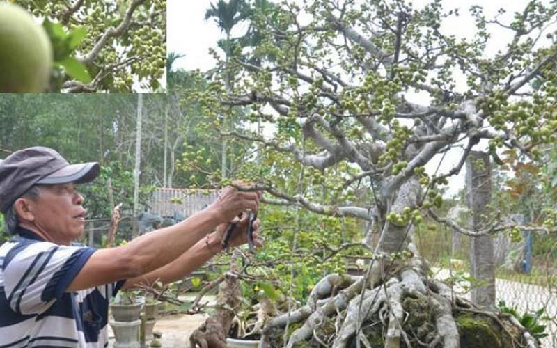 Quảng Ngãi: Độc đáo cây sanh không lá nhưng trái chi chít đầy cành