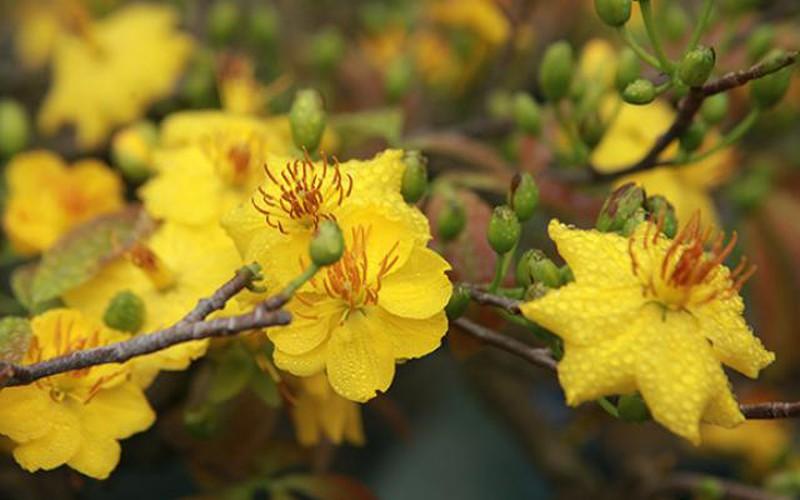 """Mai vàng bonsai cổ thụ giá bạc triệu xuống phố """"tìm đại gia"""" chơi Tết"""