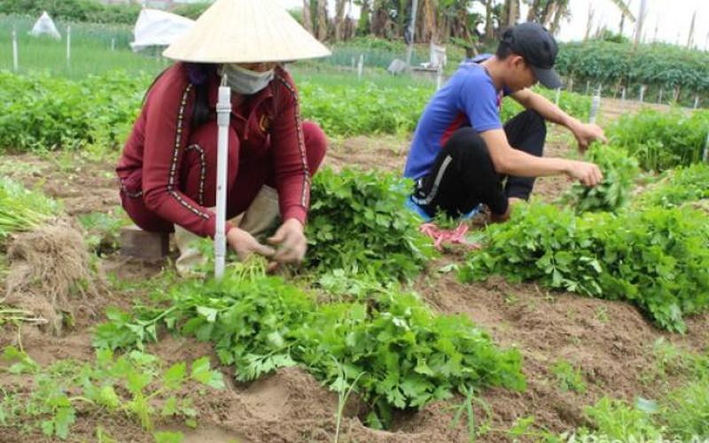 Rau cần khô bán tại ruộng 12.000 đồng/kg, 1 sào bỏ túi 3-3,6 triệu