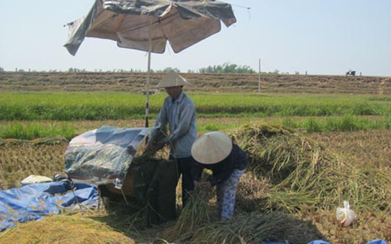 Gặt lúa dưới nắng nóng thiêu đốt, 1 người chết