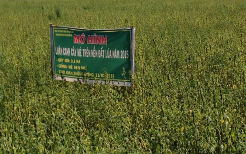 Trồng mè lãi gấp ba trồng lúa