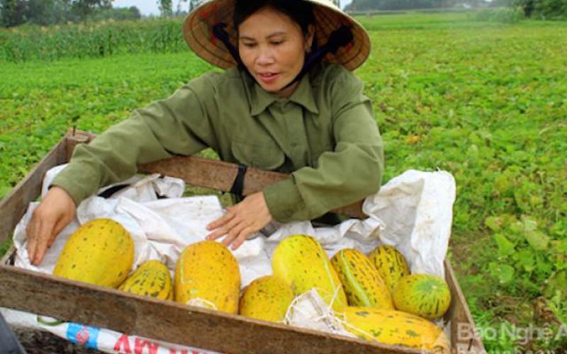 30.4 Thực phẩm sạch: Đi du lịch Cửa Lò mùa này để ăn dưa bở