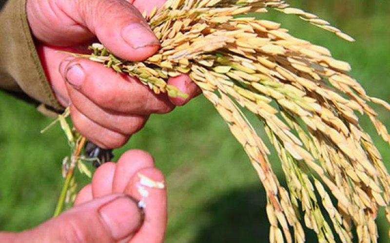 Cục Trồng trọt: Lúa Thiên Ưu bị lép do nhiễm bệnh đạo ôn cổ bông