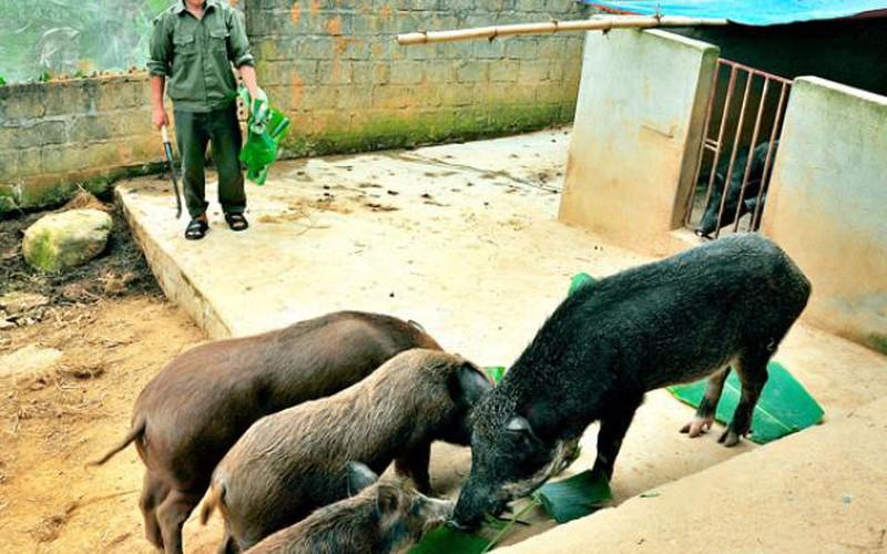 Vẫn đắt hàng, được giá nhờ nuôi lợn rừng lai, lợn đen bản địa