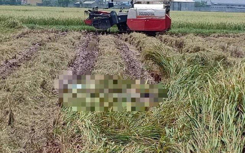 Đang gặt lúa tá hỏa phát hiện thi thể nam giới dưới ruộng