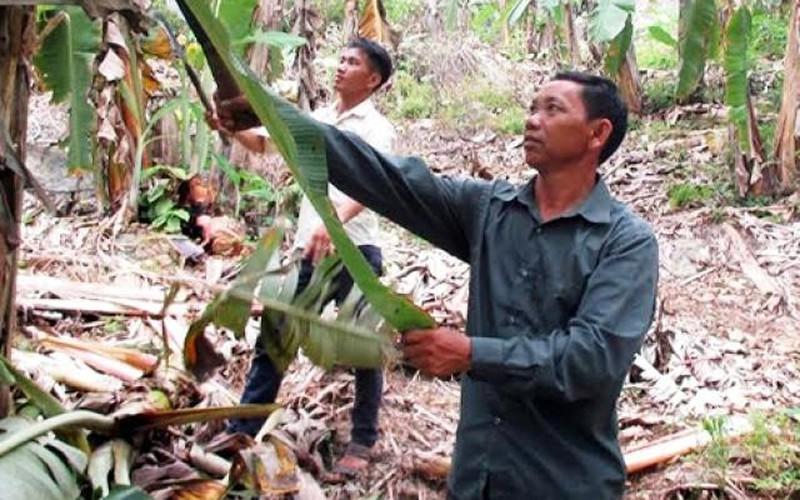 Chuyện ông Pao chăm sóc vườn chuối xuất khẩu ở Nặm Bó