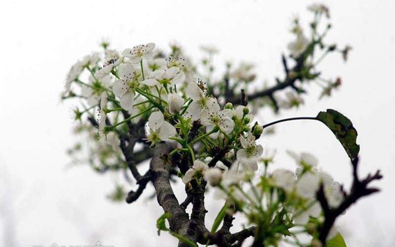 Tiết Vu Lan nhớ loài hoa tinh khôi tượng trưng lòng hiếu thảo