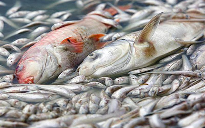 Hơn 20 tấn cá chết trắng Hồ Tây, cơ quan chức năng Hà Nội nói gì?
