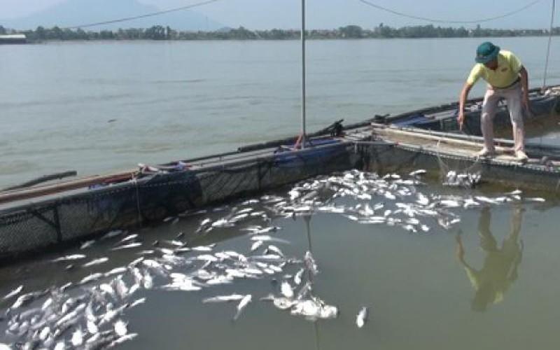 Phú Thọ: Cá lồng phơi trắng bụng, nghi do thủy điện Hòa Bình xả lũ?