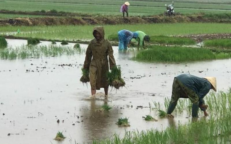 Thanh Hóa: Tranh thủ mưa bão, trời mát nông dân đổ xô đi cấy