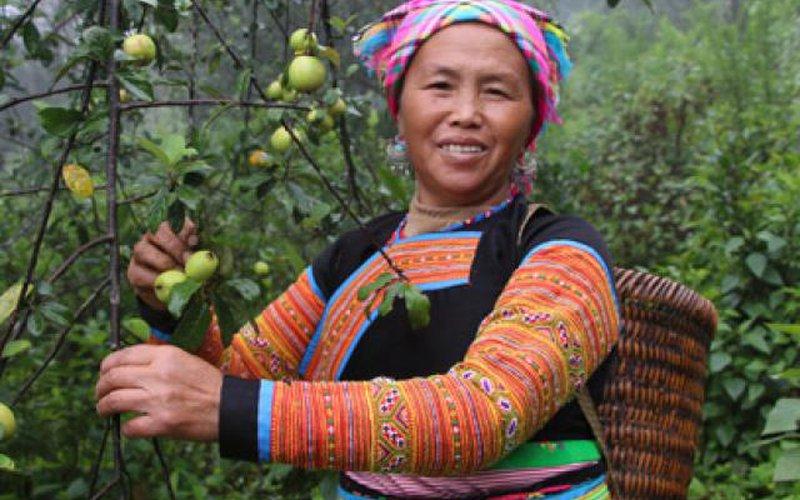 Loài táo trái bé tí trên lối mây mù, dân vùng cao, kẻ vùng thấp đều mê