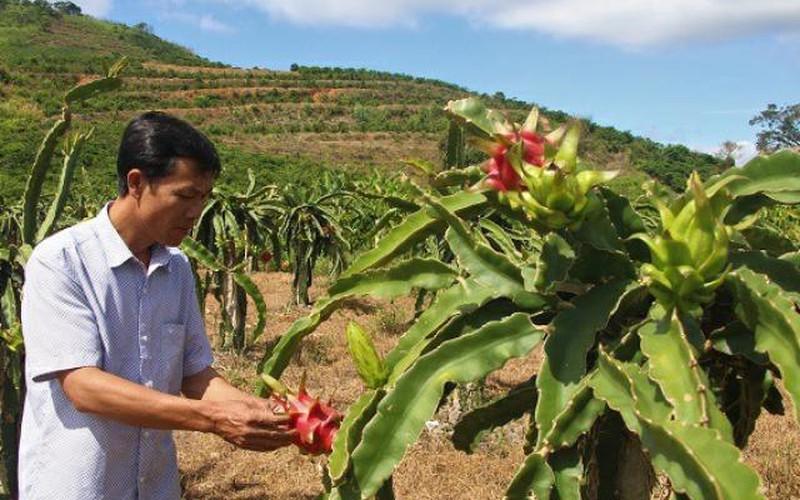 Trồng loại cây ra quả có ruột đỏ hồng, dân ở đây thu trăm triệu