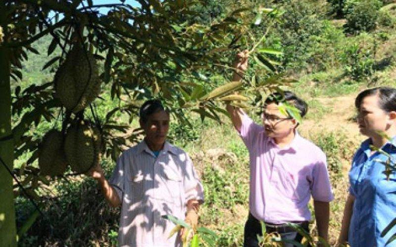 Khánh Hoà: Có vốn trồng sầu riêng, không giàu cũng khá giả
