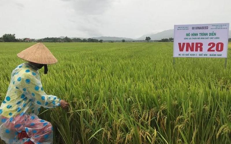 Nông dân Quảng Nam-Nghệ An: Chấp nhận gặt lúa non chạy đua bão số 4