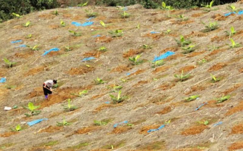 """Mường Khương: Sau vụ dứa """"đáng quên"""", dân lại trồng chuối ồ ạt"""