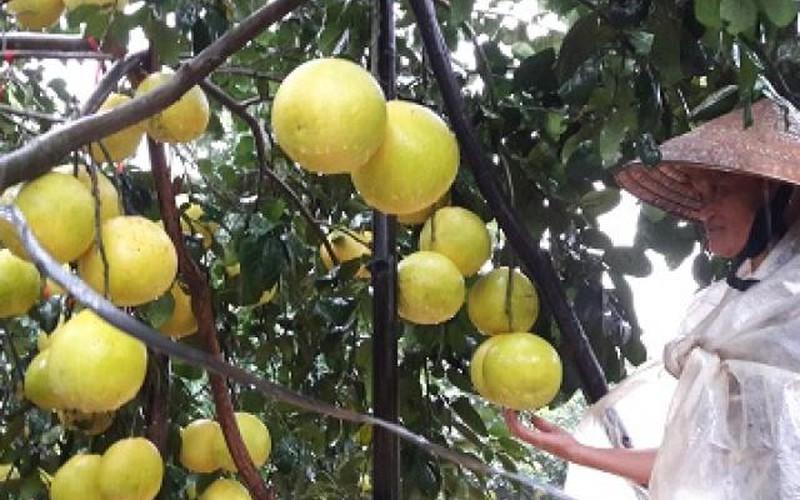 Hà Tĩnh: Mưa không ngớt, người trồng bưởi Phúc Trạch sợ mất trắng
