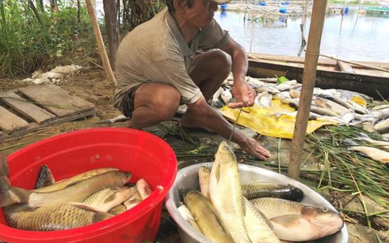 """Đã tìm ra """"thủ phạm"""" khiến 130 tấn cá chết trắng lồng ở Huế"""