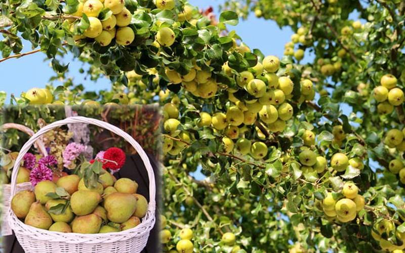 """""""Lác mắt"""" vườn lê, táo sai lúc lỉu của bà mẹ Việt Kiều"""