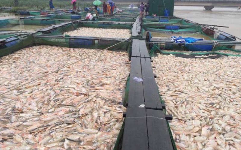 Huế: Người dân điêu đứng khi cá lồng chết hàng loạt