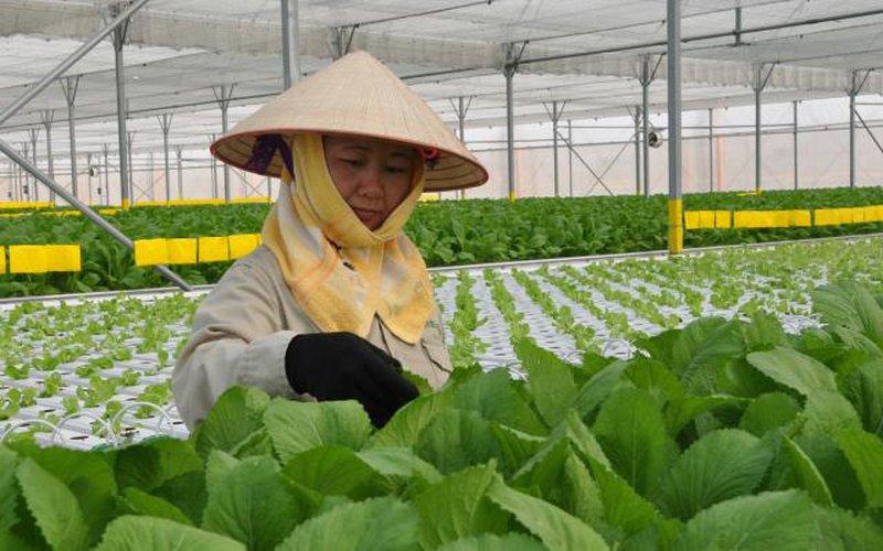 Hà Nội hưởng lợi nhờ Vĩnh Phúc đẩy mạnh sản xuất rau, củ an toàn