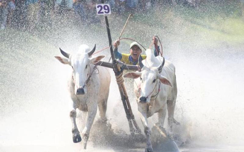 Hàng nghìn khán giả hò hét trong lễ hội đua bò Bảy Núi An Giang