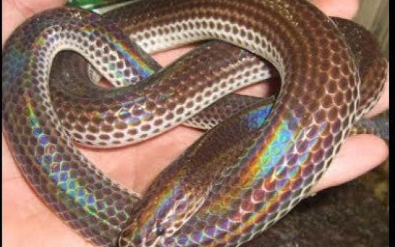 Anh nông dân Hậu Giang kiếm bội tiền nhờ làm chuồng nuôi rắn vảy ngũ sắc