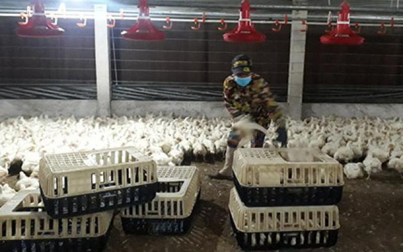 Dùng chế phẩm xử lý phân gà: Hiệu quả, nông dân vẫn chưa mặn mà