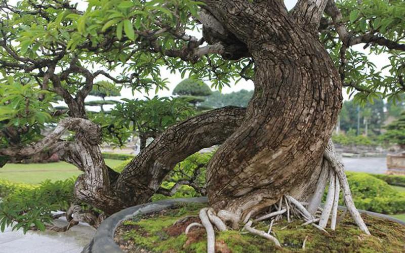 Cây mận rừng 50 tuổi thân nứt như da cá sấu giá hơn 1 tỷ
