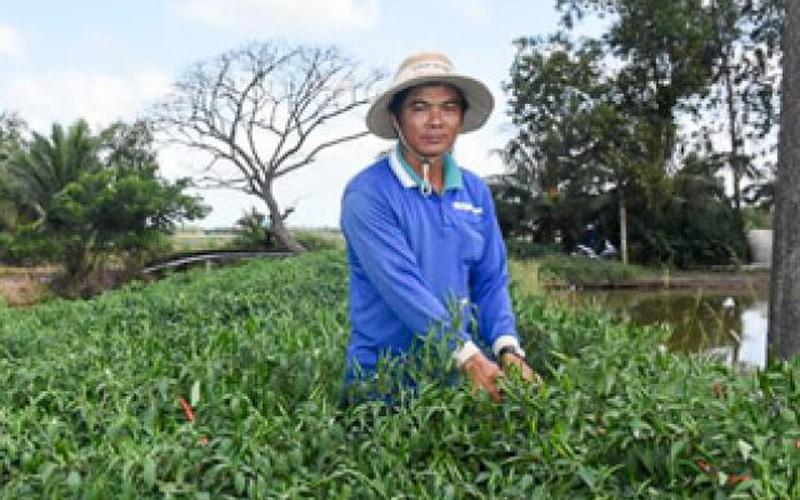 Tận dụng bờ kênh trồng ớt chỉ thiên, ngờ đâu thu được 100 triệu