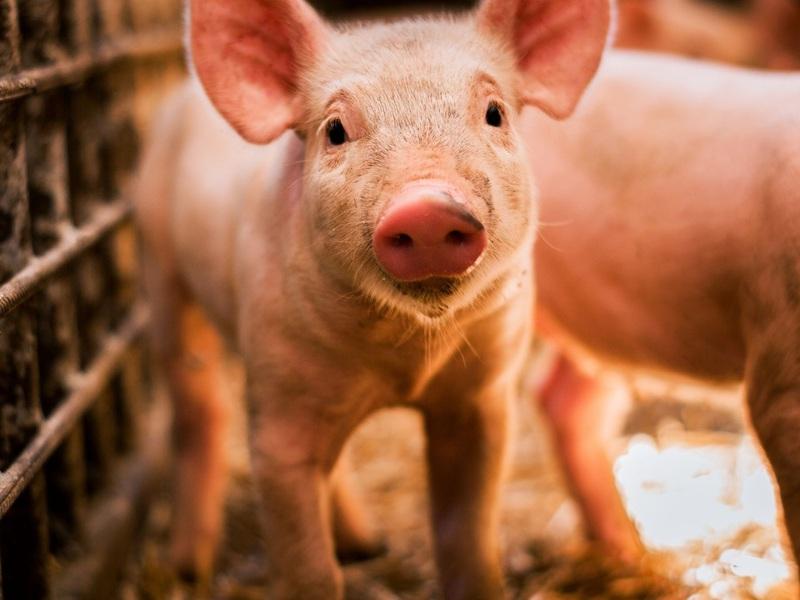 Giá nông sản hôm nay 21/10: Heo hơi rớt kỷ lục, người nuôi lỗ 1,5 triệu đồng/con; hồ tiêu quay đầu giảm sốc
